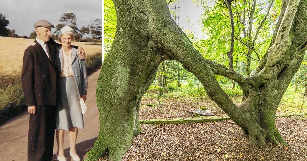 Love tree planted to woo sweetheart 100 years ago