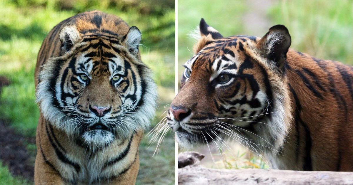 Tiger killed by potential mate during first date at London zoo
