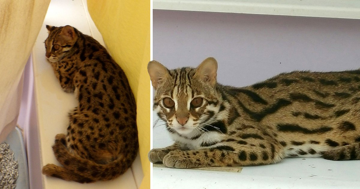 Man slapped with 10 year animal ban for being cruel to leopard cats