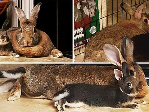 This tiny rabbit loves his girlfriend who's four times his size