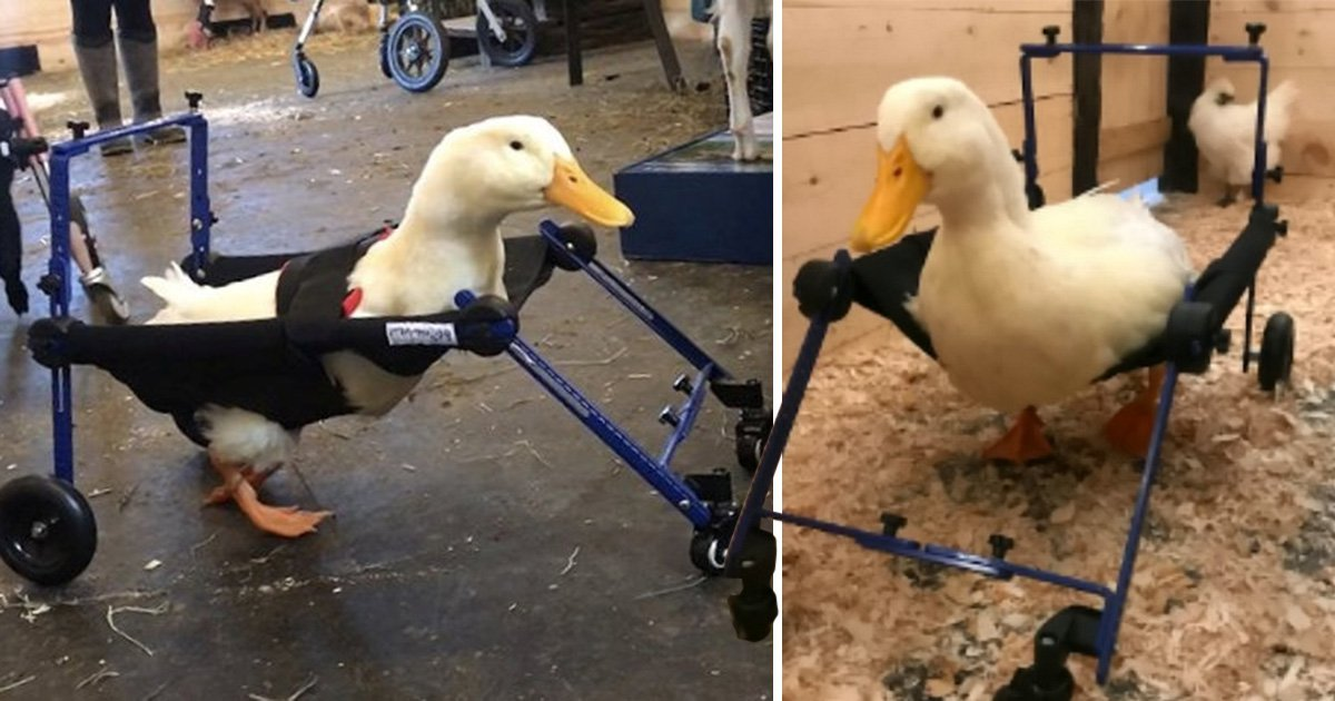 Disabled duck finally learns to walk using a special tiny wheelchair