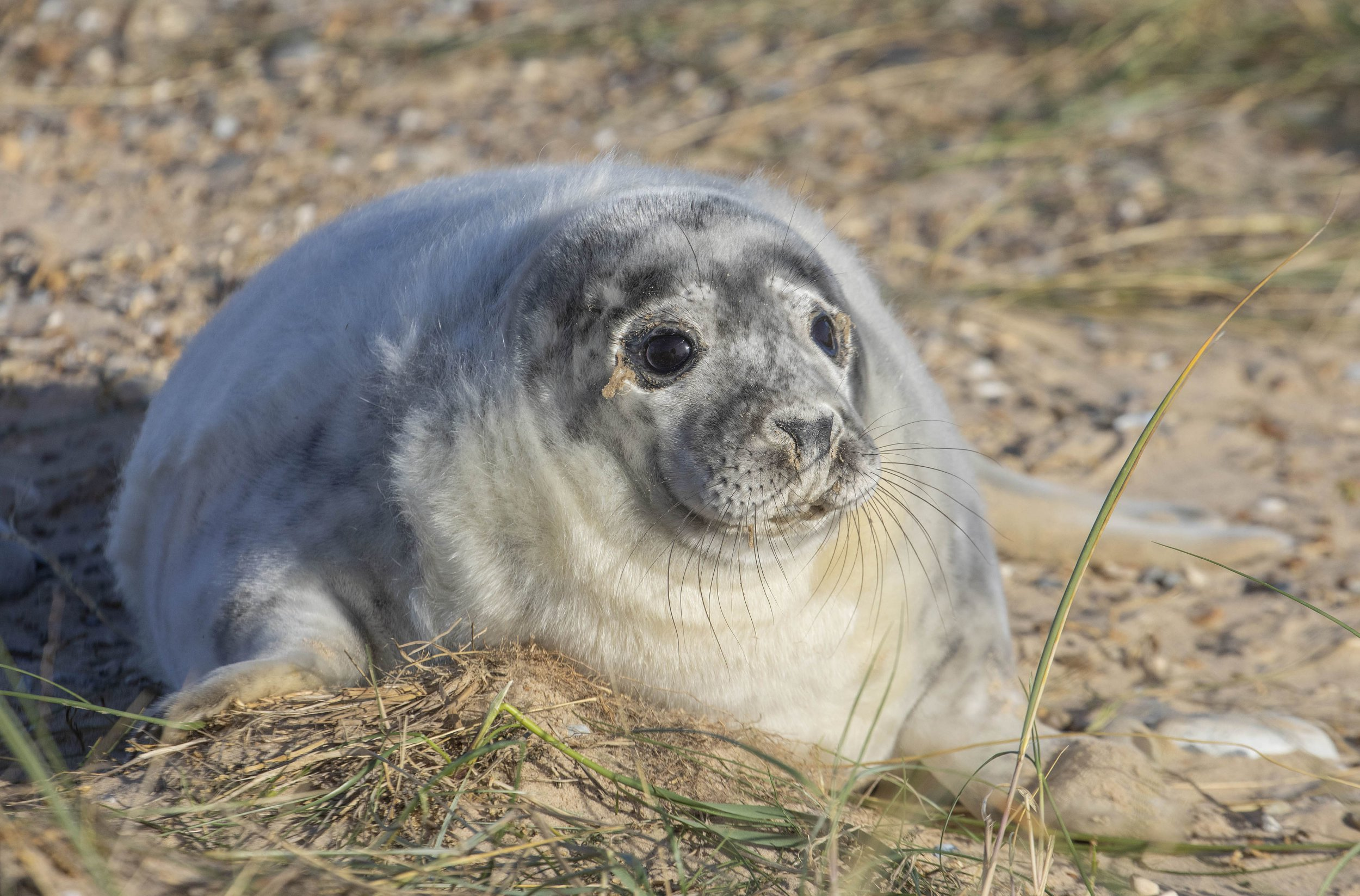 Seal pup colonies at risk from toxic 'nurdles' used in plastic production