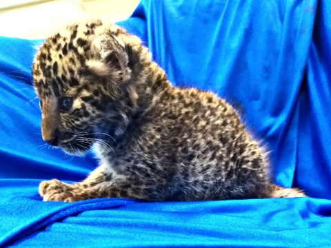 Leopard cub found inside man's suitcase after officers heard it crying
