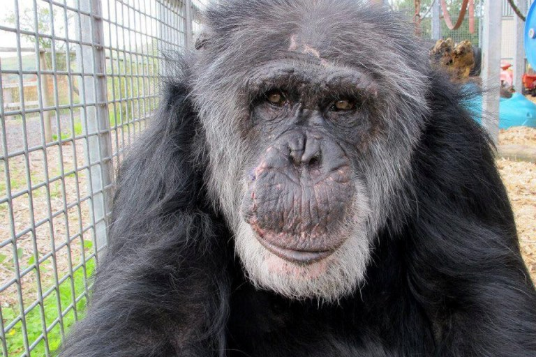 Tubman the chimpanzee who has died aged 52 at Wales Ape and Monkey Sanctuary in Swansea. See SWNS copy SWCAchimp: A chimp famously saved from the science laboratories by British wildlife lovers and lived out his days in the UK has died aged 52. Tubman, who was snatched from his mother as a baby in Liberia, is believed to have been born in approximately 1966. The chimp started life as a pet to the Liberian Royal Family - where he gained his name Tubman, after the country's then president, William Tubman.