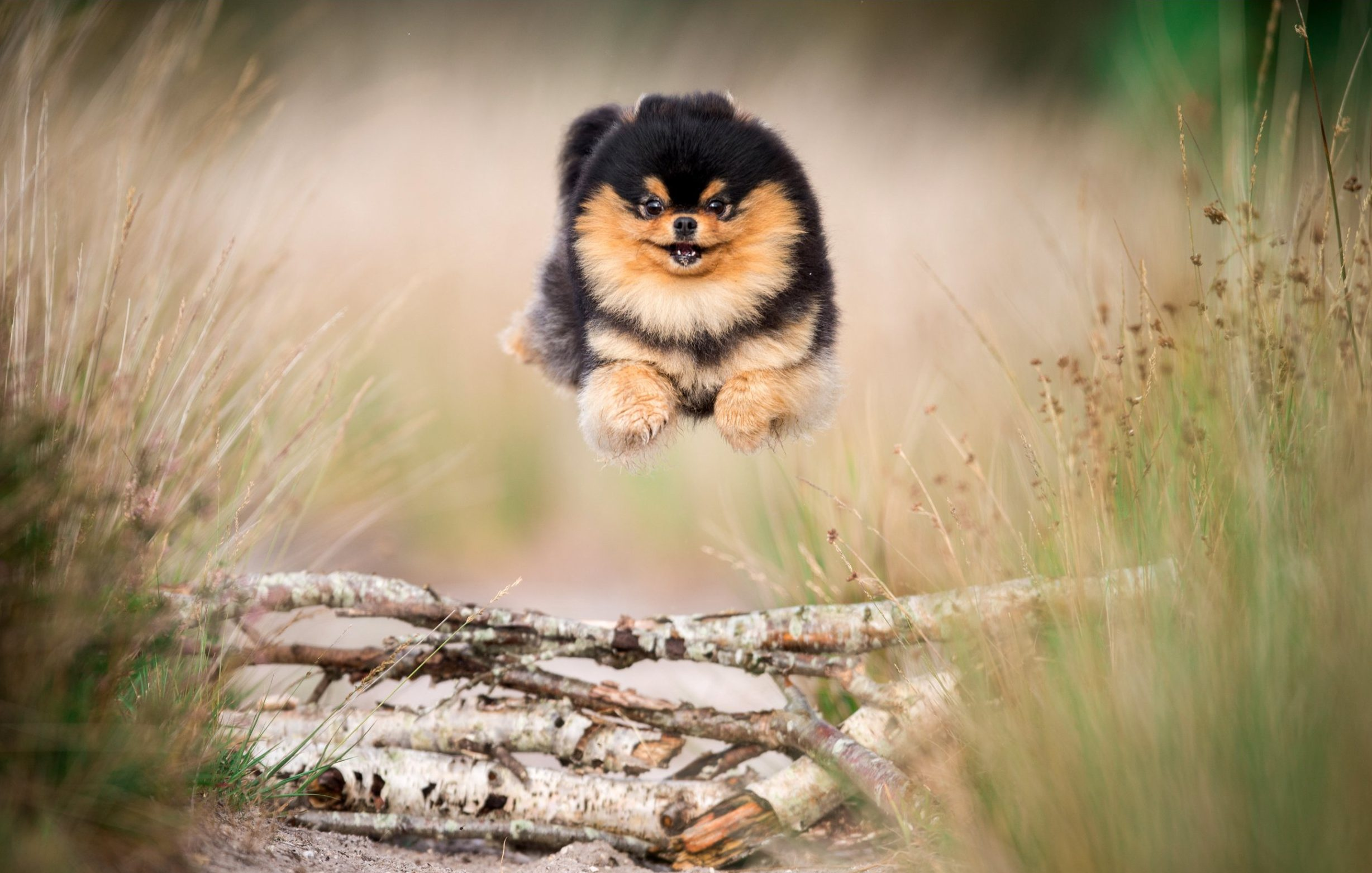 BNPS.co.uk (01202 558833) Pic: ABillionClicks/BNPS Up, pup and away! Buzz the Pomeranian. A spectacular new collection of photographs has been revealed showing joyous dogs 'flying' through the air in the forest. The charming snaps, taken by amateur photographer Daniel Sheridan, show spaniels, bull dogs and even huskies hurtling over obstacles in the woods. The shots were taken by luring the pooches in with treats, along with a large amount of trial and error.