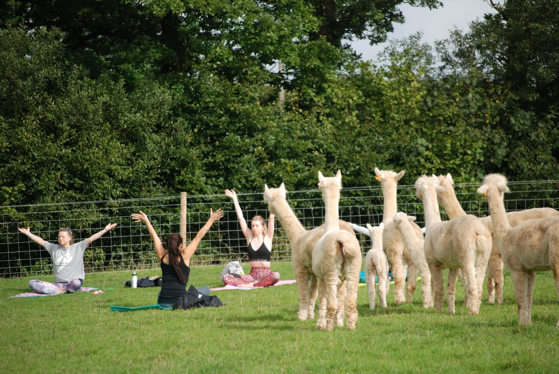 "A yoga class is held at Rosebud Alpacas in Devon. See SWNS story SWPLalpaca; A farm has become the first place in Britain to offer yoga classes - in a field full of ALPACAS. Rosebud Alpacas is located on a remote smallholding among rolling countryside and has been hailed as the perfect location for calming exercise. But to add to the experience owners Nick and Lucy Aylett have decided to run their yoga classes in the same field where they keep their alpacas. And they say their alpaca yoga classes in South Molton, Devon, are a ""unique experience"" which are ""great for mind, body and soul""."