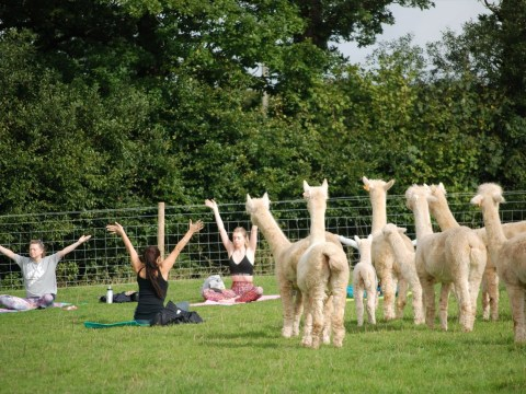 You can now do yoga in a field full of alpacas
