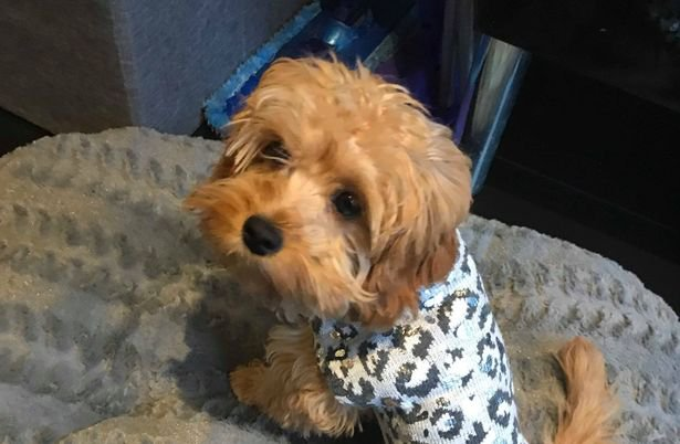 This tiny puppy had to be put down after it was 'crushed' by another dog at a park. Cavapoo Buffy - a cross between a Cavalier King Charles spaniel and a poodle - was left with horrific injuries after being attacked by the animal at Cale Green park in Stockport on Saturday afternoon. She weighed just 2.5kg.