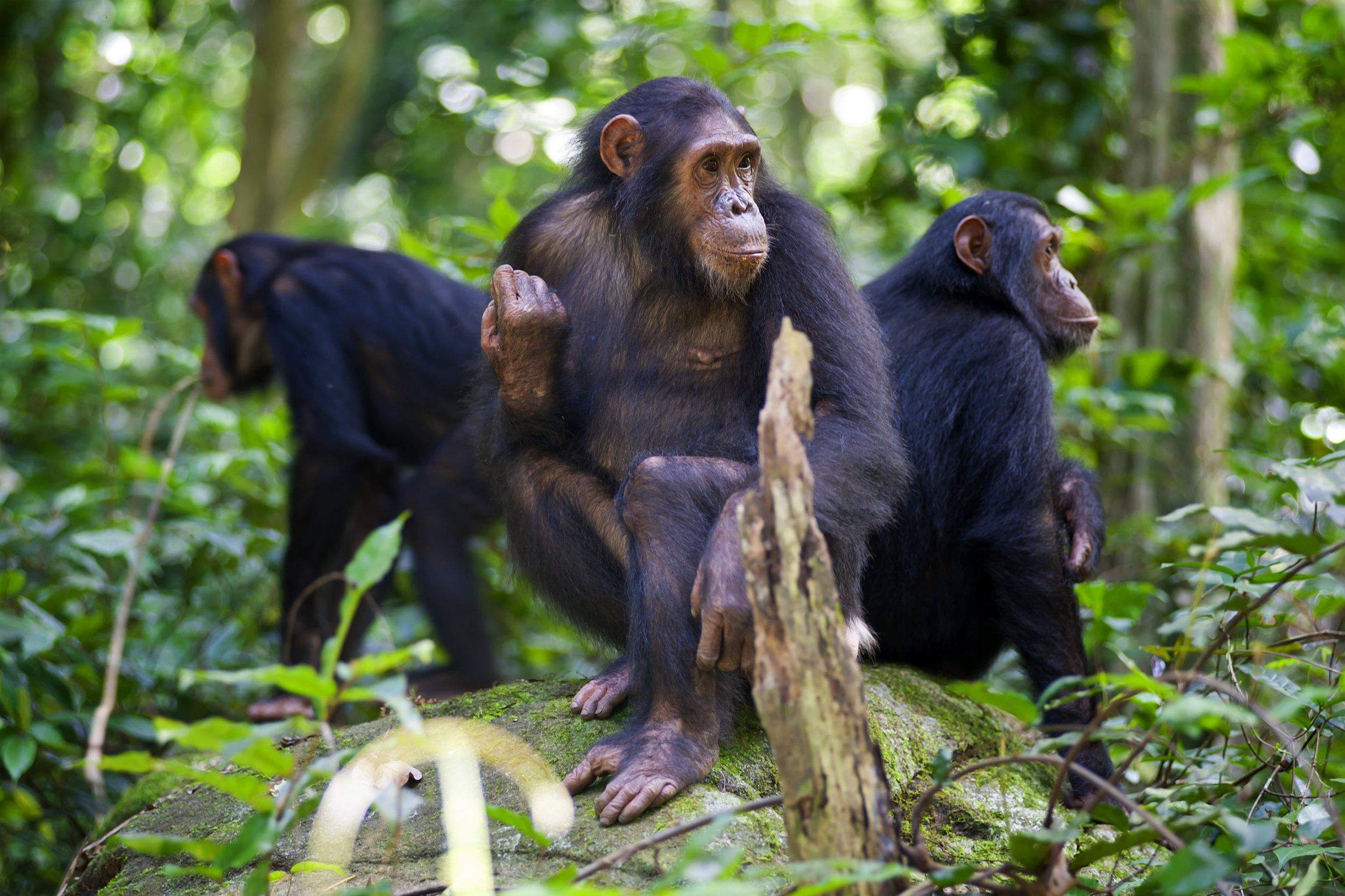 Human encroachment is damaging chimpanzee culture, scientists warn