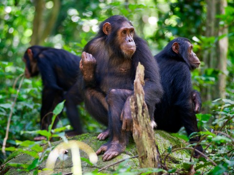 Human encroachment is damaging chimpanzee culture, scientists warn