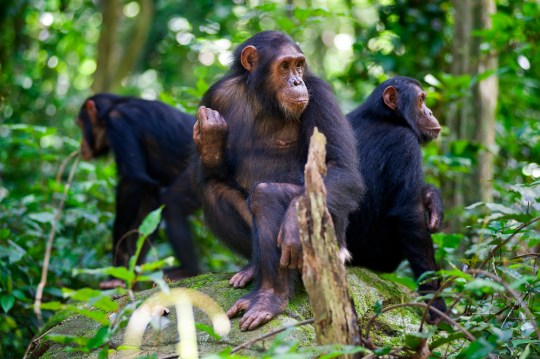 "Three ""Chimps"" (Common Chimpanzee, Pan troglodytes) are sitting on a rock. SHOT IN WILDLIFE in Gombe Stream National Park in Western Tanzania."