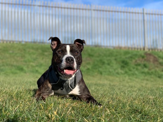 Appeal for someone to give Star the staffie, who has been waiting for 1,800 days, a permanent home Provider: Edinburgh Dog and Cat Home