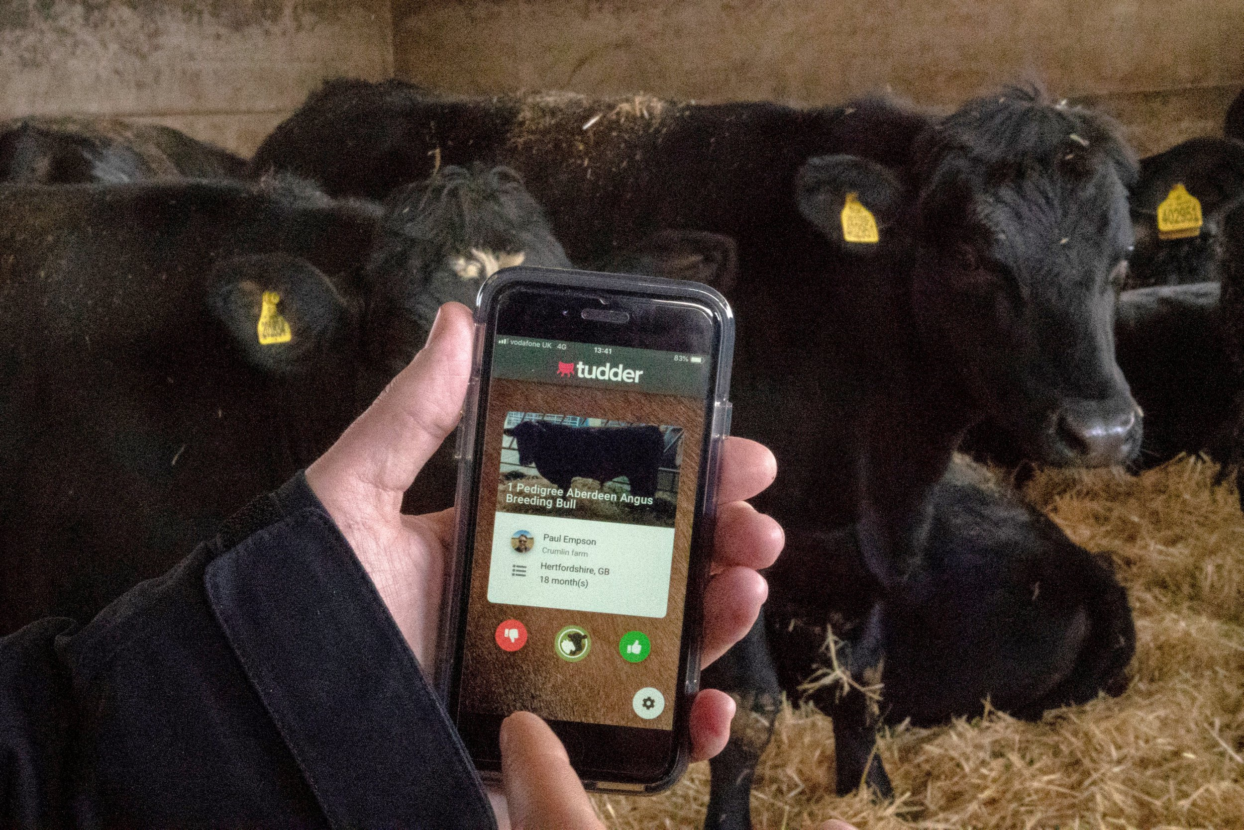 There's a Tinder for cows looking for love this Valentine's Day