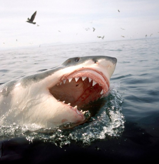 Great White Shark, Carcharodon Carcharias, on surface of the water with mouth wide open, surrounded by sea birds. (Photo by: Universal Images Group via Getty Images)