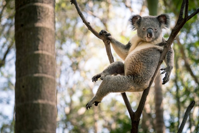 PIC FROM Caters News - (PICTURED: The koala posing in Queensland, Australia. PIC TAKEN IN FEB 2019) - A cuddly hungry koala has set the internet ablaze after striking his most seductive come hither pose for some female romantic interests. British photographer Ross Long, 27, was exploring picturesque bushland on the Gold Coast of Queensland, Australia, when he spotted the laid-back lover reclining on a branch. Ross, from Cornwall but based in Sydneys Manly, said he believes the furry fella was posing up a storm to capture the hearts of some nearby females.SEE CATERS COPY