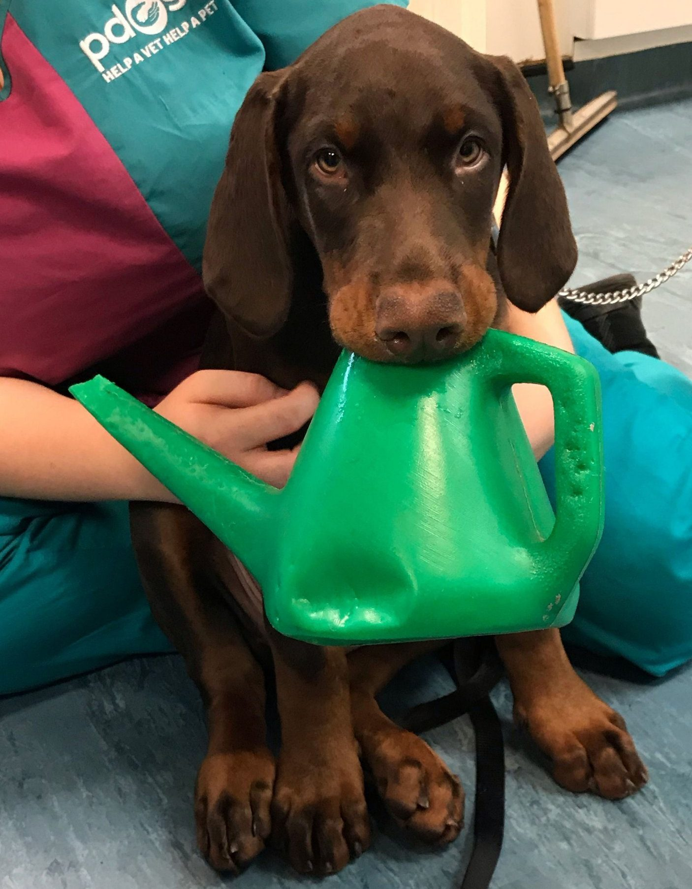PDSA undated handout photo of Doberman puppy Cassius who had a watering can wedged in its mouth. PRESS ASSOCIATION Photo. Issue date: Wednesday February 20, 2019. The three-month-old puppy from Hampstead Heath, north London needed to be sedated by vets from the PDSA animal charity because of his distress before the watering can was cut away and removed. See PA story ANIMALS Puppy. Photo credit should read: PDSA/PA Wire NOTE TO EDITORS: This handout photo may only be used in for editorial reporting purposes for the contemporaneous illustration of events, things or the people in the image or facts mentioned in the caption. Reuse of the picture may require further permission from the copyright holder.