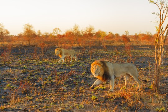 Safari Big Five in South Africa