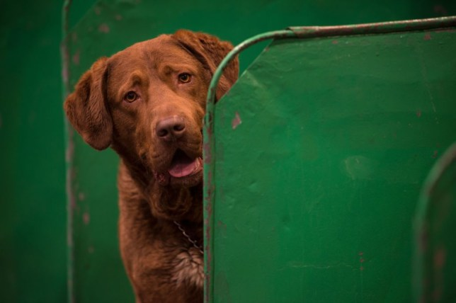 A Chesapeake Bay retriever dog looks out from its pen on the first day of the Crufts dog show at the National Exhibition Centre in Birmingham