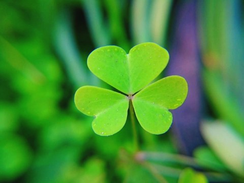 What counts as a true shamrock, and why is it a St. Patrick's symbol?