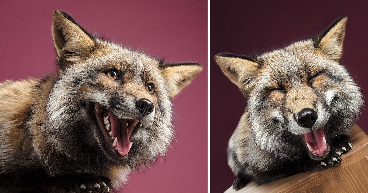Foxes have a studio photoshoot and the pictures are adorable