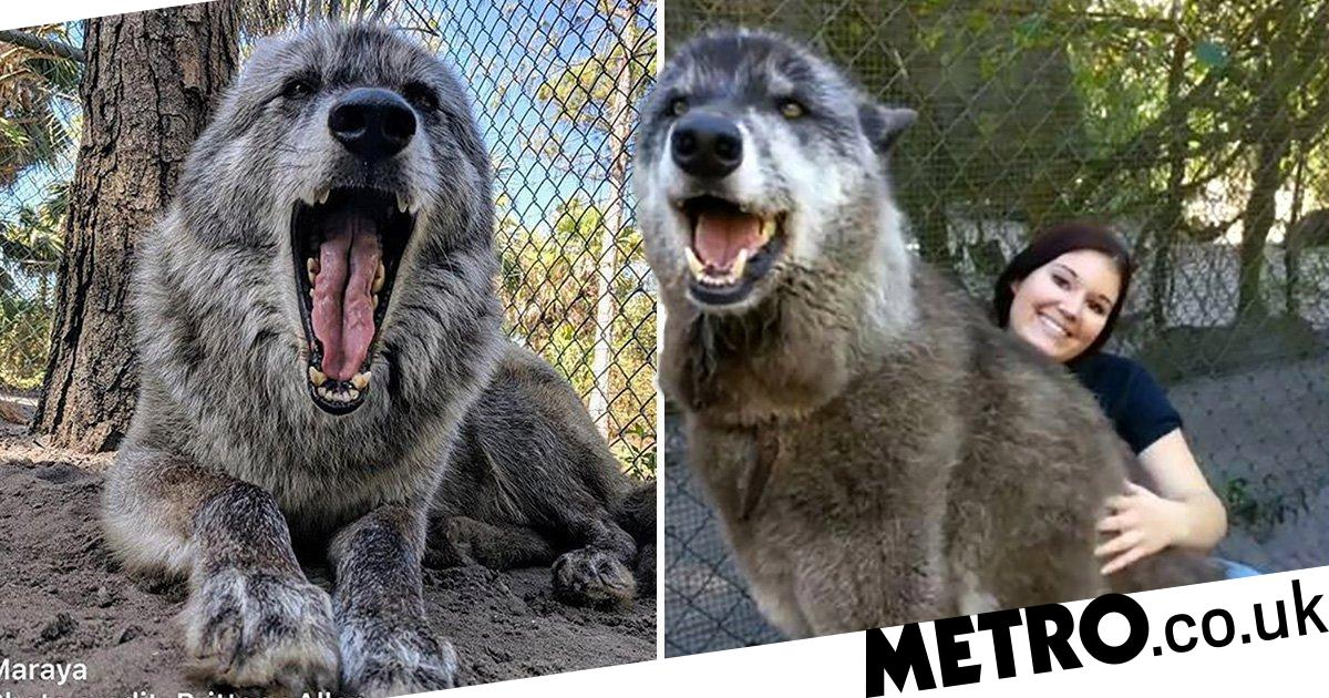 Giant wolfdog with terminal cancer is given forever home