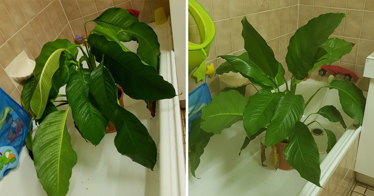 Mum shares easy trick for reviving your droopy house plants