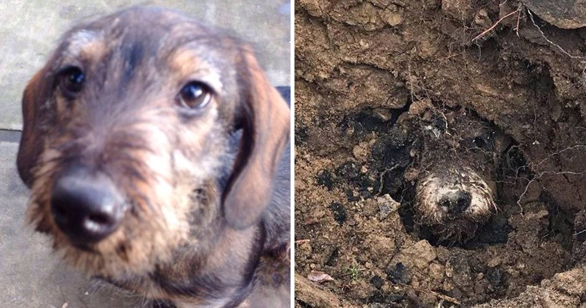 Missing dachshund found by his sister after five days down a rabbit hole