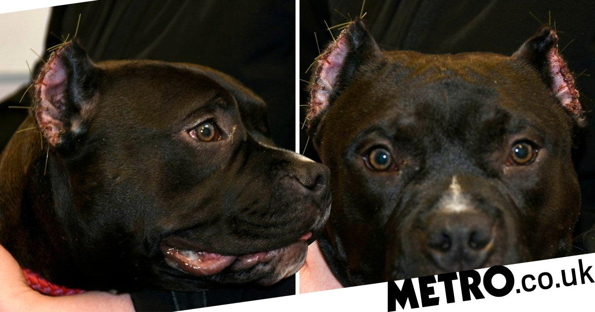 Puppy's ears chopped off by cruel owner who wanted more money for her