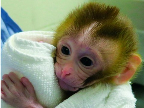 Monkey's testicles could help young boys with cancer preserve future fertility