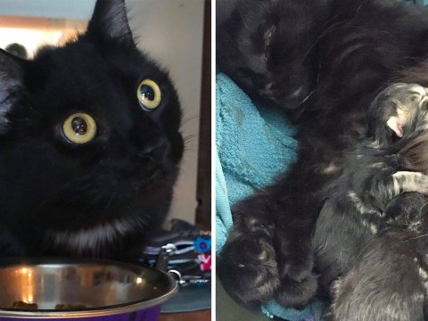 Pregnant stray cat goes to the same house every day to get someone to take her future kittens in