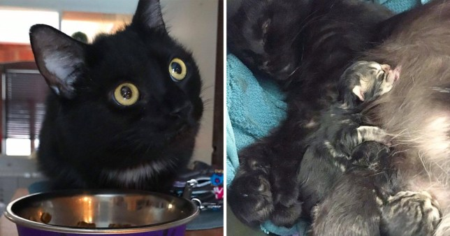 Stray kitty goes to the same house every day to get someone to take her and her kittens in