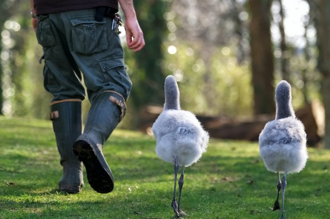 Senior Bird Keeper Simon James walks two 10 week old Chilean flamingoes at the zoo. The chicks, which have been hand reared, are exercised every day for half an hour until they are introduced to the main enclosure later this week. They will be gradually integrated into the adult flock and it will take approximately one month before they are fully independent. See SWNS story SWPLtall.Two hand-reared flamingos are being walked every day so they develop fully but will only follow the zoo keeper - with the longest LEGS.Senior Bird Keeper Simon James has taken up responsibility for walking two baby birds around the zoo as he is the tallest in the team - sparking much amusement among visitors. The chicks have to be exercised every day for half an hour in preparation for integrating them into the main enclosure.It will take a month before they are fully independent.