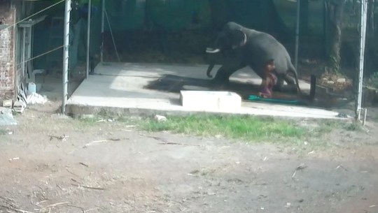 Pic shows: Despite the other keeper's quick intervention, it was too late to save the man INDIA: Elephant accidentally kills a man while giving it a wash