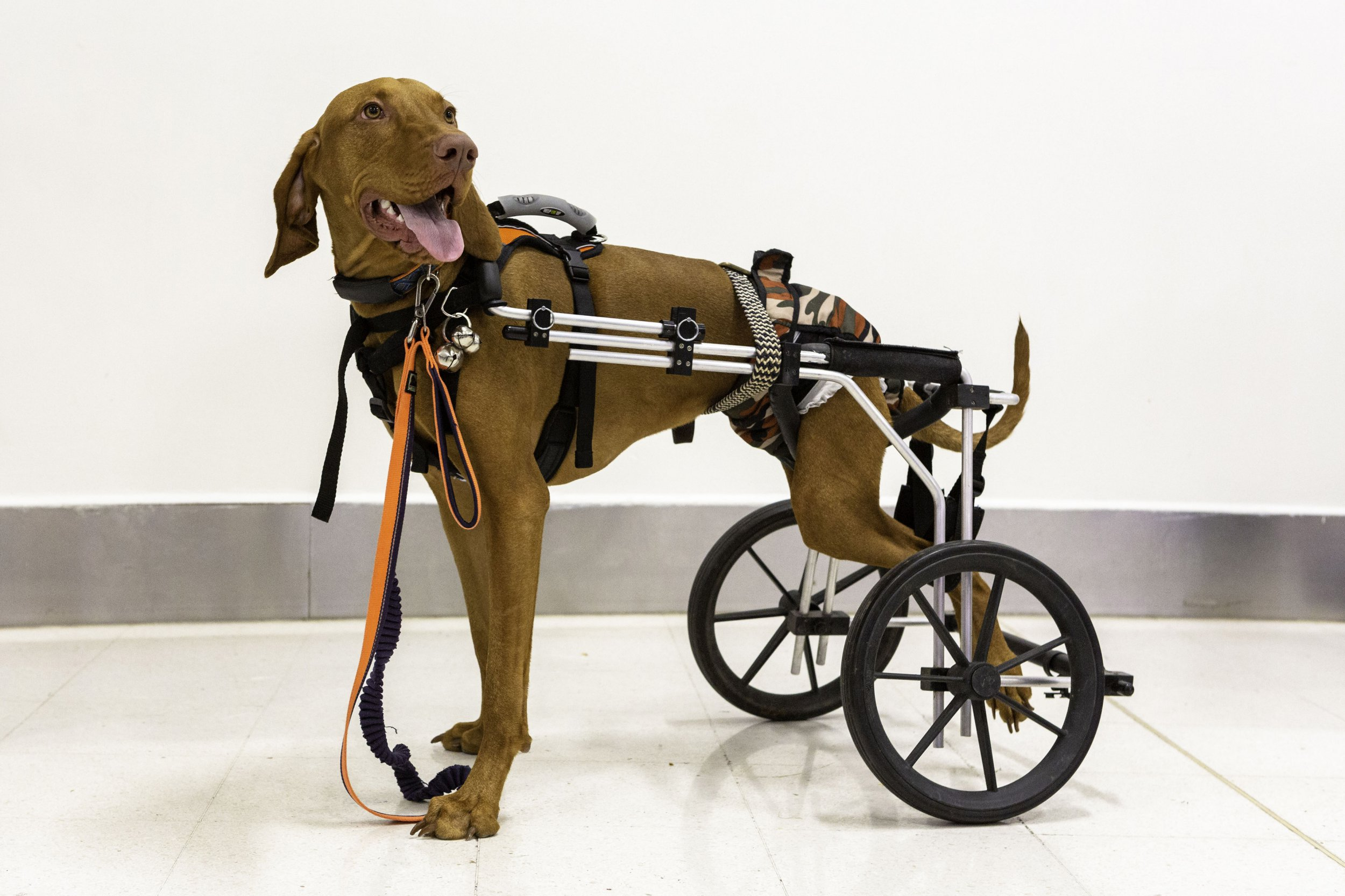 PIC FROM Kennedy News and Media (PICTURED: Gilbertthe dog) A disabled puppy fitted with a wheelchair after losing his hind legs has been given a hero???s welcome at Crufts - just days after taking his first steps. Vets wanted to put one-year-old Hungarian Vizsla Gilbert down after he was trodden on just days after being born. But Jane and Kevin Bircumshaw took in the stricken pet and nursed him back to health, bursting into tears of joy after filming him finally walking without the aid of his special chair. SEE KENNEDY NEWS COPY - 0161 697 4266