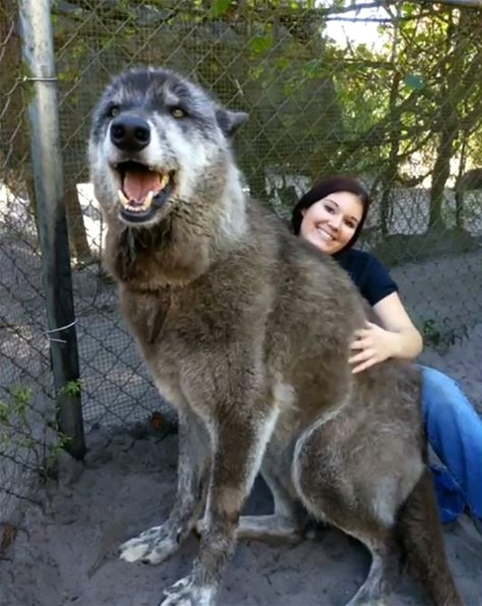 Picture: @brit_allen_ Huge wolfdog with terminal cancer
