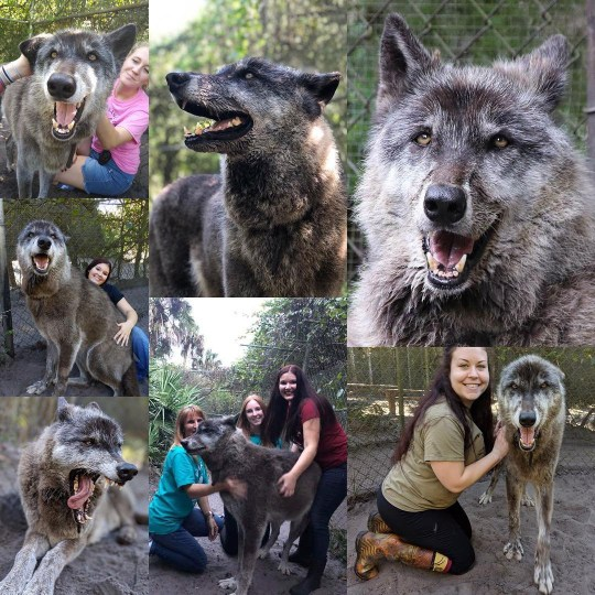 Picture: shywolf_sanctuary Huge wolfdog with terminal cancer