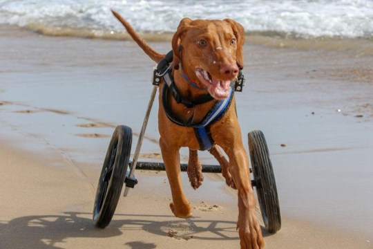 Gilbert disabled Hungarian Vizsla (Picture: Gilbert's Journey/Facebook)