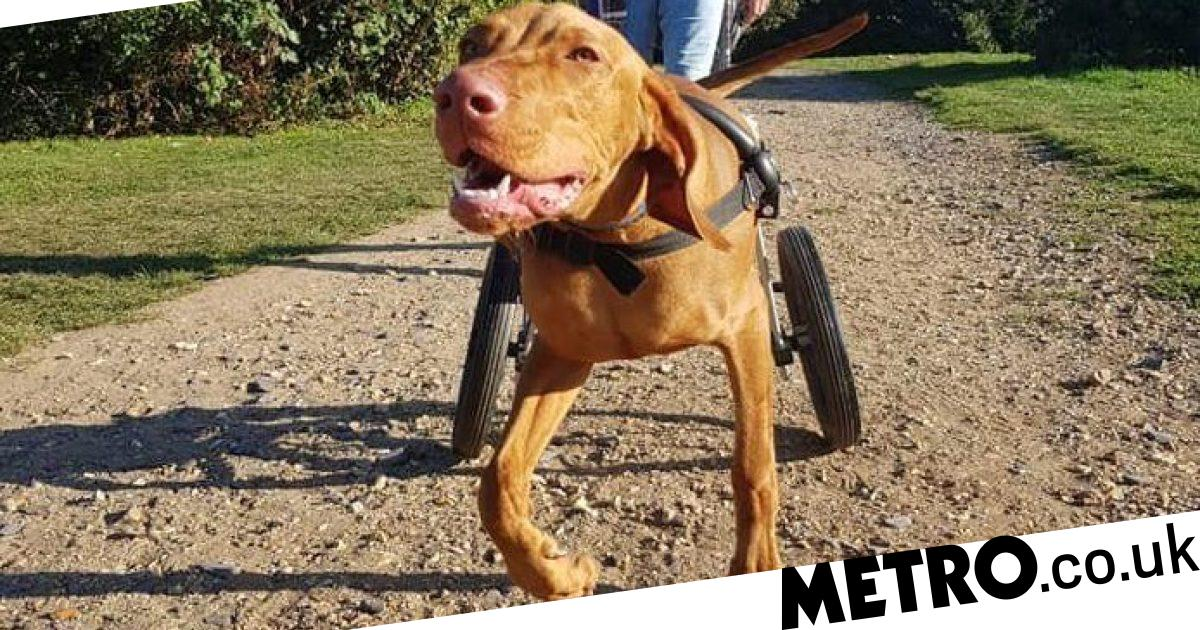 Everyone's fallen in love with disabled Crufts puppy that's just learned to walk