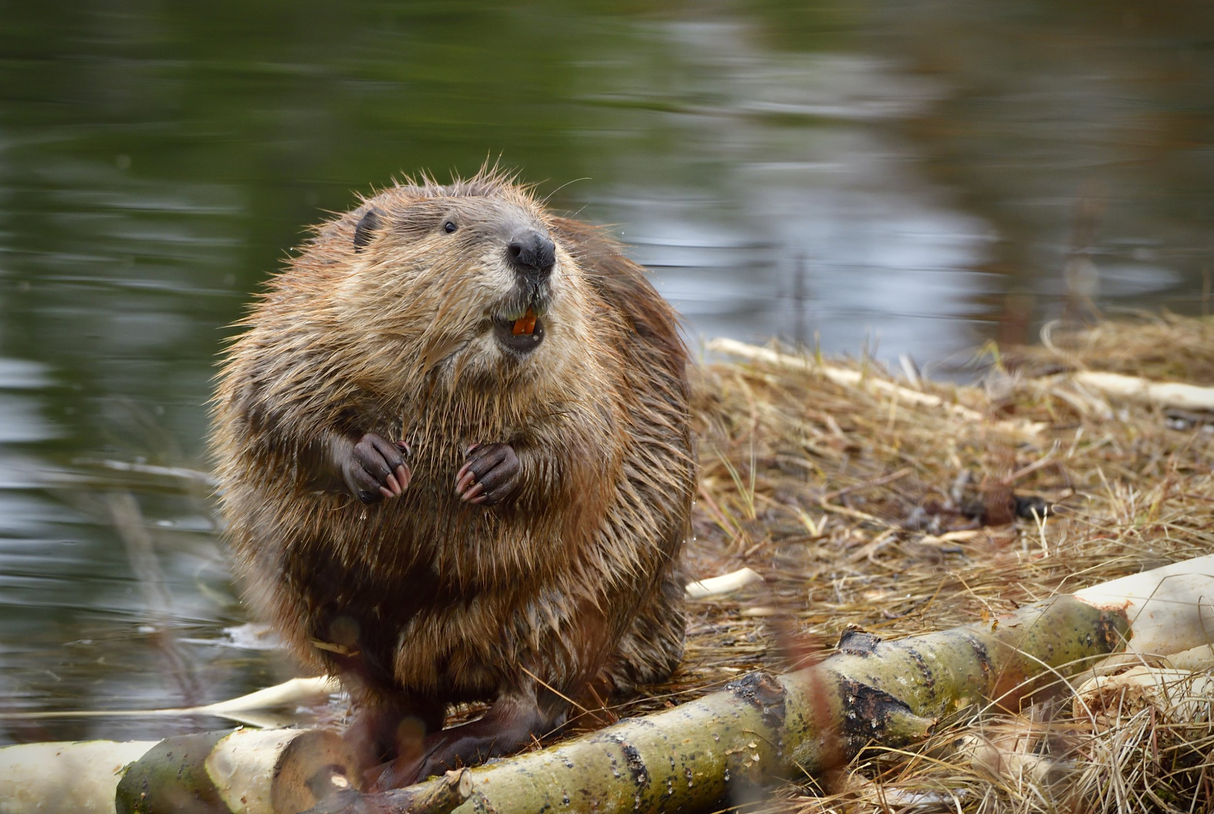 An adult beaver Castor canadensis; sitting on the shore of his beaver pond with an interesting facial expression.