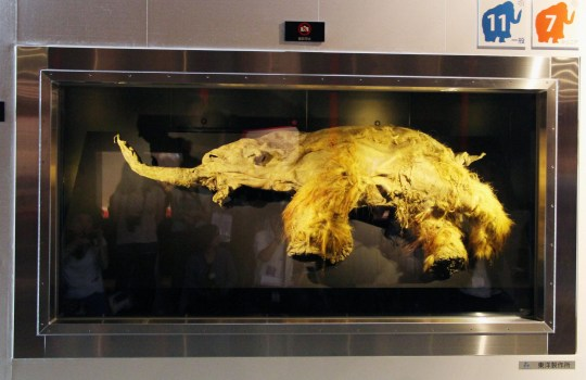YOKOHAMA, Japan - Photo shows the body of a female mammoth called Yuka at Pacifico Yokohama convention center in Yokohama, near Tokyo, on July 12, 2013. The mammoth, from about 39,000 years ago and estimated to be 10 years old, was found frozen in Siberia in 2010. (Photo by Kyodo News via Getty Images)