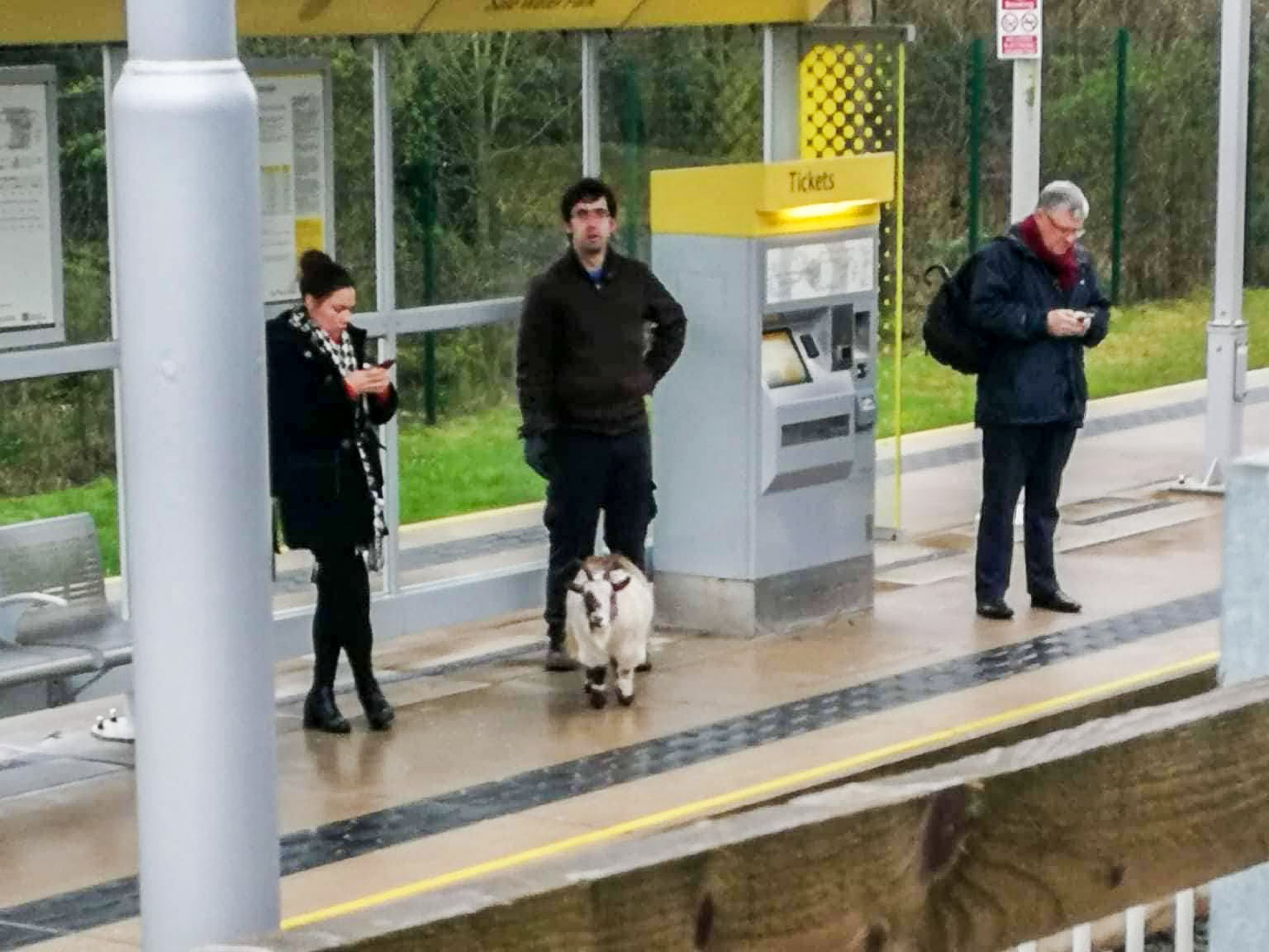 MERCURY PRESS. 15/03/19. Manchester, UK. (Pictured: Belle, a mislaid goat, on a Metrolink height in Sale, Gtr Manchester currently [FRI].) This is a waggish impulse commuters were left dumbfounded when a blank goat wandered onto a tram height - 25 miles from home. Animal rescuer Louise Fields, from a Dogs 4 Rescue nearby Worsley, Salford, headed down to a tram stop in Sale, Greater Manchester, after receiving a call from a member of a open yesterday [THURS]. The midget goat - called Belle - had been reported blank by owners Julie Swindell, 49, from her plantation in Greenfield, Saddleworth - some-more than 25 miles from a tram hire - on Monday. (SEE MERCURY COPY)