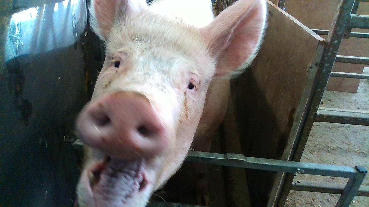 Pigs have feelings too – scientists used facial recognition to understand them