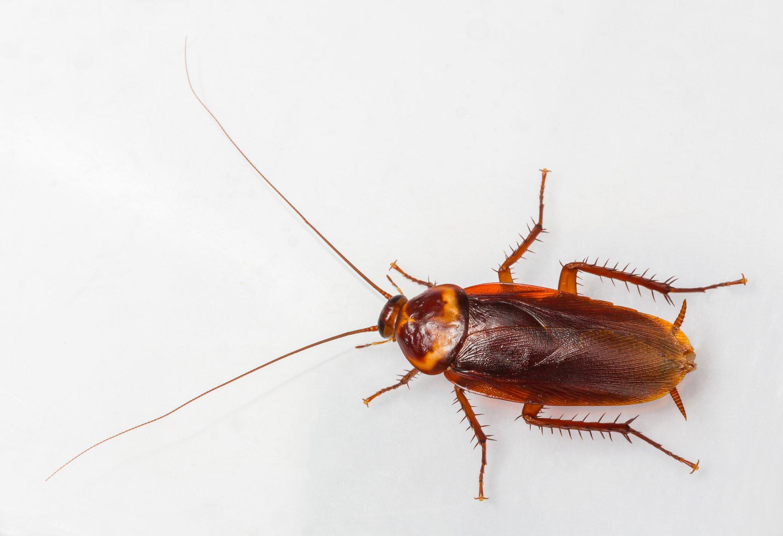American cockroach - Periplaneta Americana removed on white