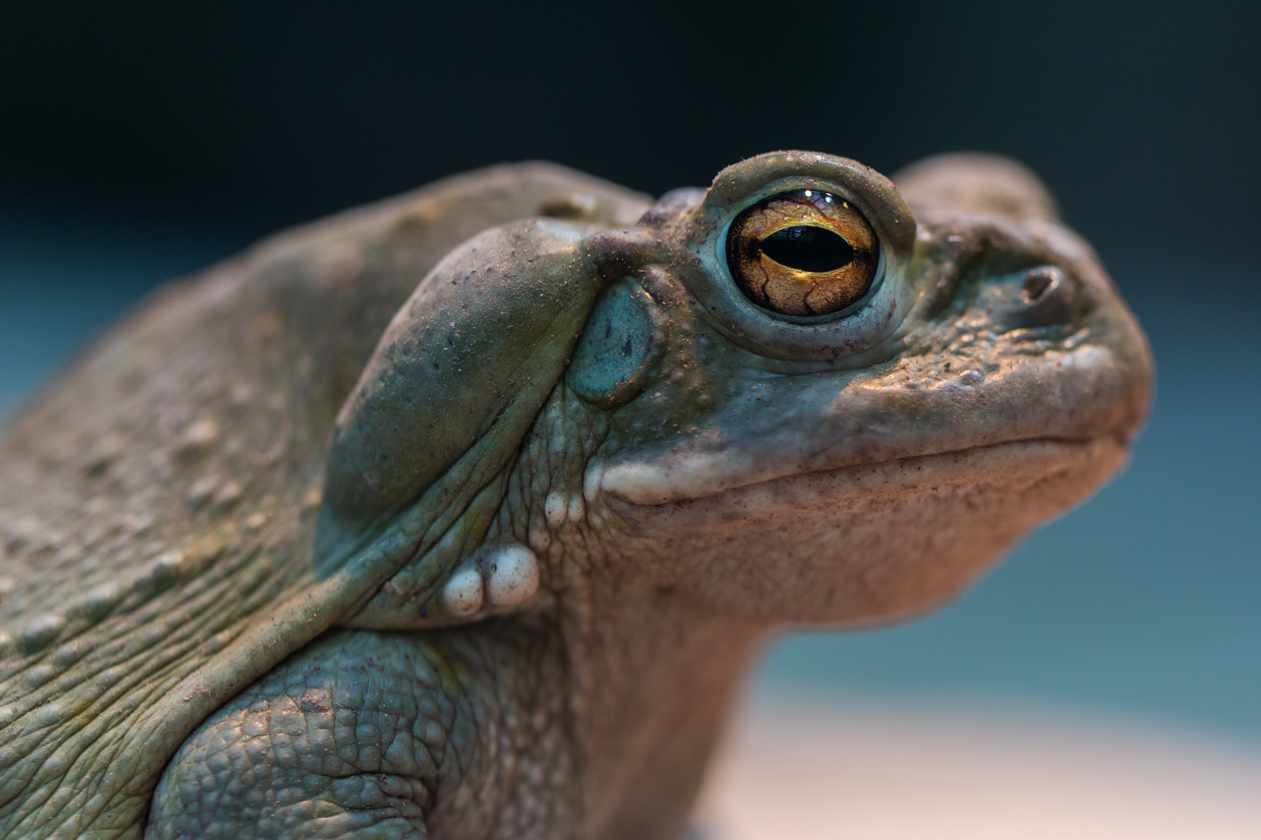 Portrait of colorado river toad; Shutterstock ID 436484824; Purchase Order: -