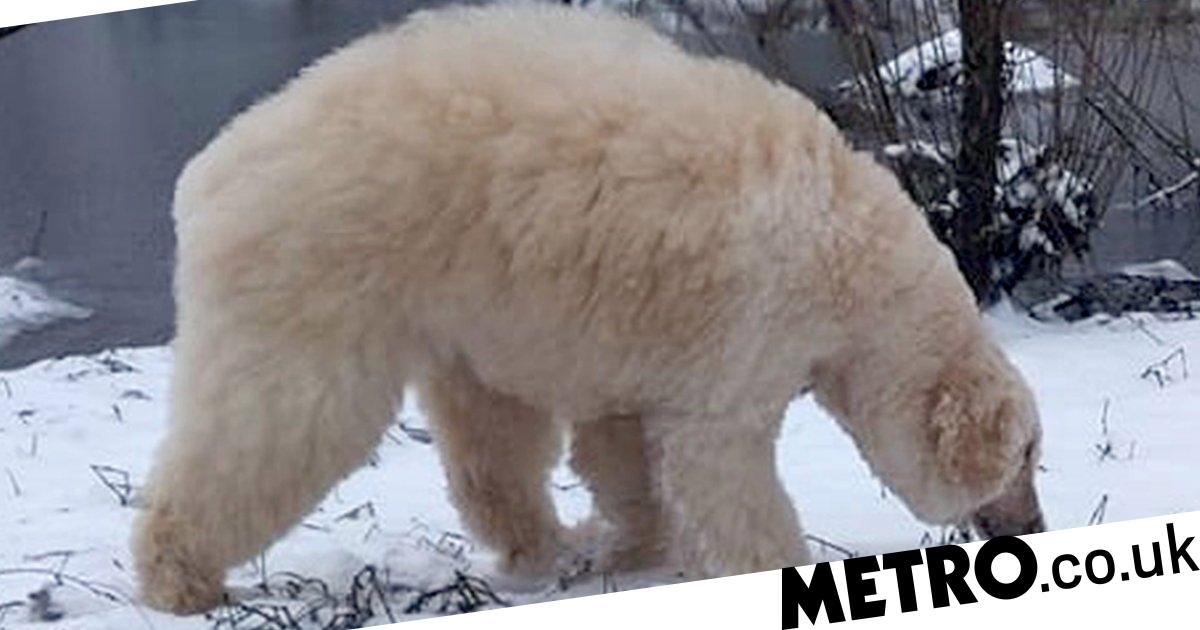Groomer transforms her dog into a mini polar bear