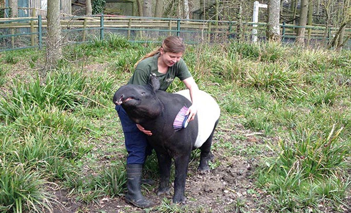 UK-based tapir has become oldest in the world