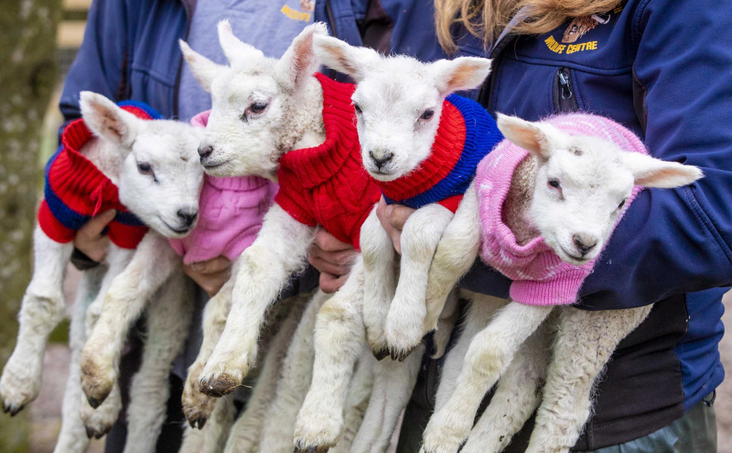 These five adorable baby lambs wearing woolly jumpers will make your day