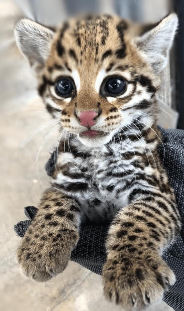 ocelot kittens