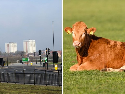 Cow shot dead by police after running onto motorway