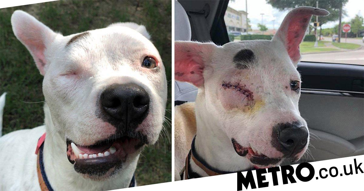 One-eyed dog abandoned after being shot in face